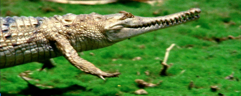 Nat Geo nimia Crocodile Stock Video